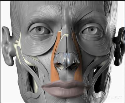 Músculo elevador del labio superior y del ala nasal
