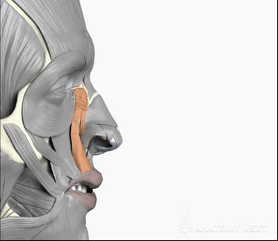 Perfil Músculo elevador del labio superior y del ala nasal