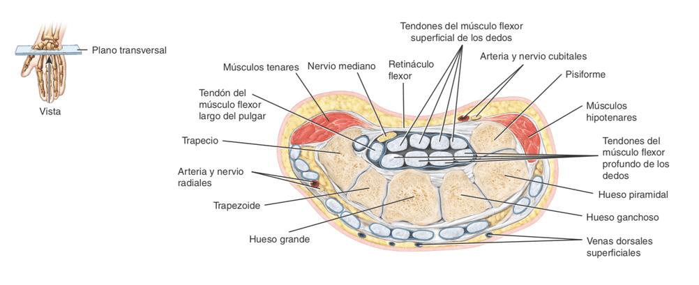 Anatomía túnel del carpo