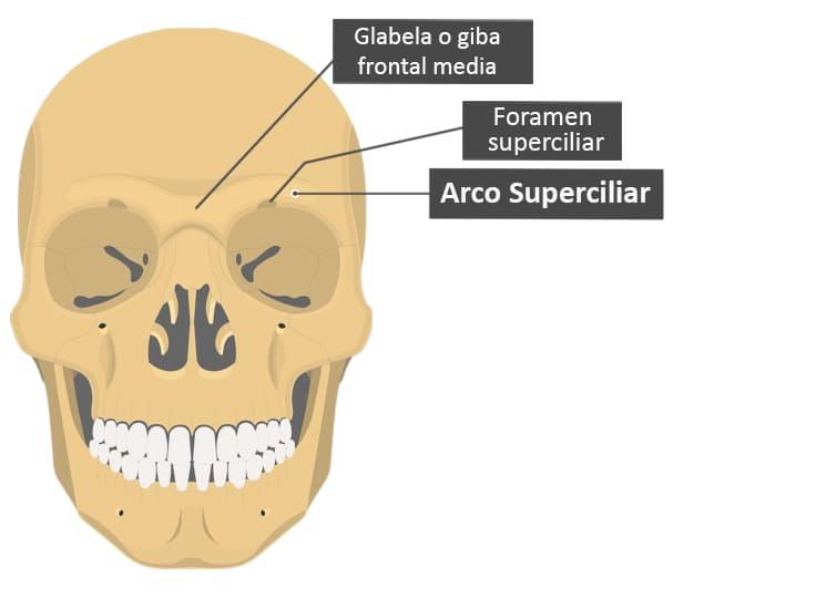 Arco superciliar