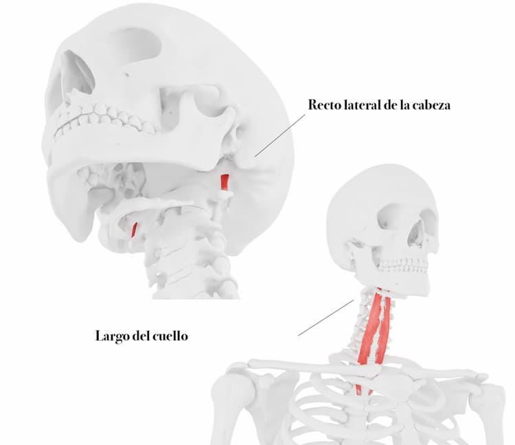 Musculatura anterior del cuello
