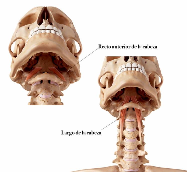 Musculos anteriores del cuello