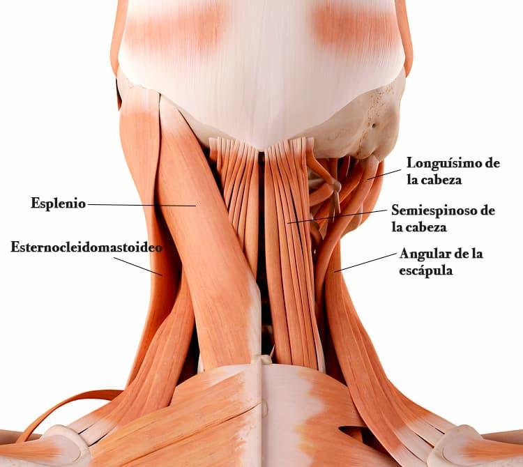Erectores del cuello