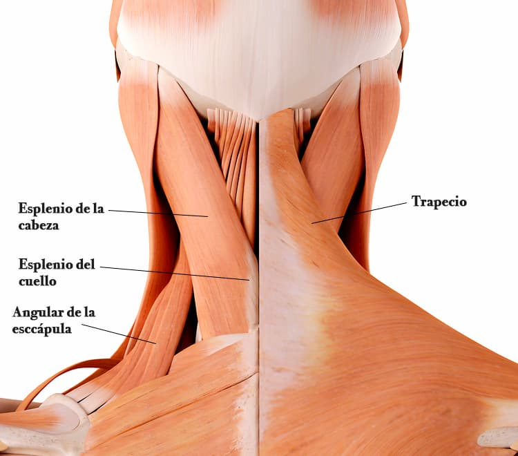 Musculos posteriores del cuello