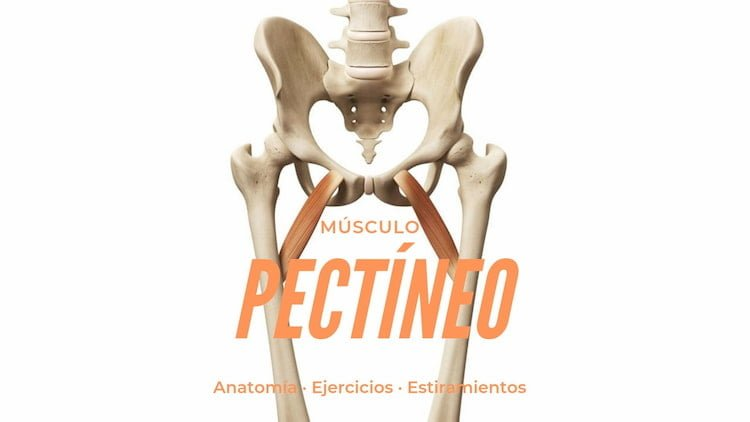 Musculo pectineo