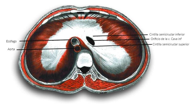 Anatomía diafragma