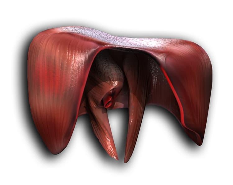 Músculo diafragma