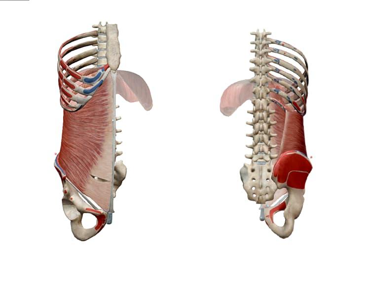 origen e inserción del transverso del abdomen